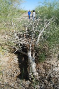 Parkinsonia killed by dieback induced by fungi